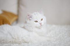 Biały puszysty kota lying on the beach na białym trenerze Zdjęcia Stock