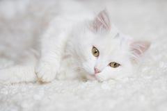 Biały puszysty kota lying on the beach na białym trenerze Zdjęcie Stock