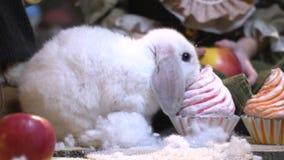 Biały puszysty królik wśród dekoracj w postaci tortów zbiory