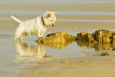 Biały puszysty psi gapić się przy skałą przy plażą Zdjęcia Royalty Free