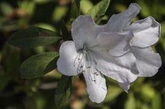 Biały różanecznik Obraz Royalty Free
