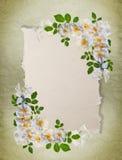 biały ramowe róże Obraz Stock