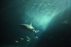Biały rekin unosi się w głębokim oceanie Fotografia Royalty Free