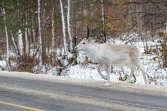 Biały renifer krzyżuje drogę Zdjęcie Royalty Free