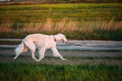 Biały Rosyjski Borzoi Gazehound postu bieg W lato łące Th Zdjęcia Stock