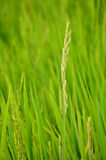 Biały ryż zdjęcie royalty free