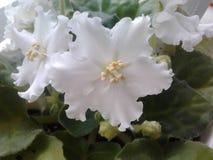Biały saintpaulia z falistą krawędzią fotografia stock
