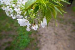 Biały Sakura Czereśniowego okwitnięcia kwitnienie na gałąź drzewo Zdjęcie Royalty Free
