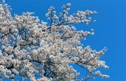Biały Sakura czereśniowy okwitnięcie na niebieskim niebie Obraz Stock