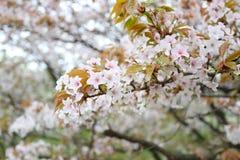 Biały Sakura kwiat lub czereśniowi okwitnięcia w Japonia uprawiamy ogródek Obrazy Royalty Free
