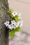 Biały Sakura kwiat lub czereśniowi okwitnięcia w Japonia uprawiamy ogródek Obrazy Stock