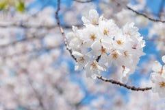 Biały Sakura okwitnięcie w Japonia Zdjęcie Stock