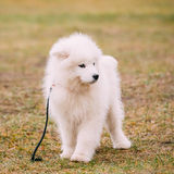 Biały Samoyed szczeniaka pies Plenerowy w parku Zdjęcia Royalty Free