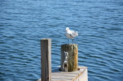 Biały seagull zdjęcie stock