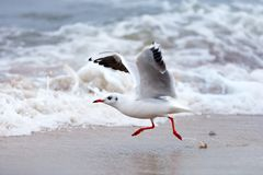 Biały Seagull biega na mokrym piasku latać po to, aby Fotografia Stock