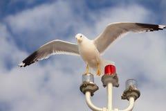 Biały seagull polowanie na błękitnym chmurnego nieba tle Zdjęcia Stock