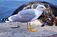 Biały Seagull Z Żółtym belfrem obraz royalty free
