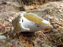 Biały seashell na skalistej plaży Zdjęcia Royalty Free
