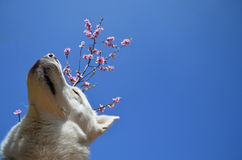 Biały siberian husky czuł wiosnę Zdjęcie Stock