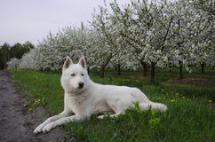 Biały siberian husky kłama blisko białego sadu Obrazy Royalty Free
