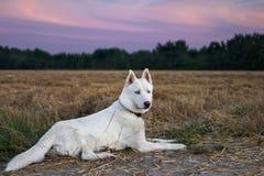 Biały siberian husky kłama blisko kukurydzanego pola Zdjęcia Stock