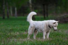 Biały siberian husky ogląda coś w trawie Zdjęcia Stock