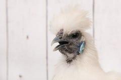 Biały Silkie kurczak w henhouse fotografia royalty free