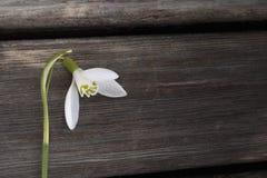 Biały snowbell zbliżenie na drewnianym popielatym tle, pusta przestrzeń, jasny prostoty wiosny nastrój Obrazy Stock