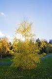 Biały spadek brzozy drzewo Zdjęcia Royalty Free