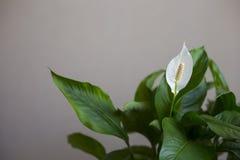 Biały spathiphyllum houseplant w okwitnięciu Obrazy Royalty Free