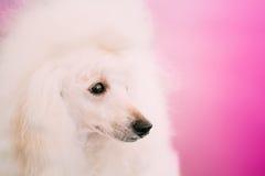 Biały Standardowego pudla psa zakończenie W górę portreta Zdjęcia Royalty Free