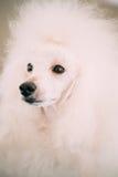 Biały Standardowego pudla psa zakończenie W górę portreta Fotografia Royalty Free