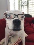 Biały stary boksera pies z różnymi barwionymi oczami fotografia stock