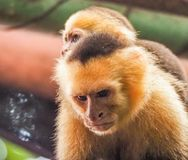 Biały stawiam czoło capuchin i dziecka zamknięty up Obrazy Stock