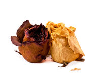 biały suche tło róże Obraz Royalty Free