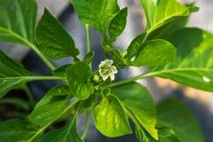 Biały Sweer pieprzu kwiat zdjęcie stock