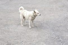 Biały szczęśliwy pies na bruku fotografia stock
