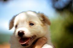 Biały szczeniak z pięknymi oczami obraz stock