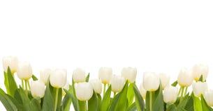 biały sztandarów tulipany piękni świezi Zdjęcie Royalty Free