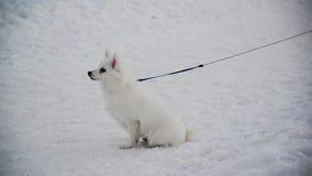 Biały Szwajcarski Pasterski pies z smycz pozycją na śniegu zdjęcie wideo