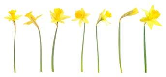 biały tło daffodils Zdjęcie Stock