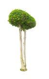 biały tło drzewa Obraz Stock