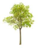 biały tło drzewa Fotografia Stock