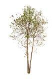 biały tło drzewa Zdjęcia Stock