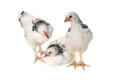 biały tło kurczaki fotografia stock