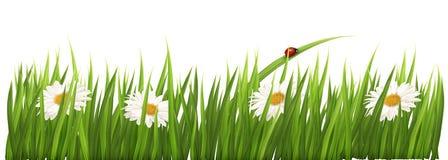 Biały tło kwitnie stokrotki zielonej trawy Fotografia Royalty Free