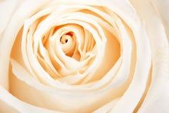 biały tło róże Obraz Royalty Free