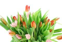 biały tło tulipany Zdjęcie Royalty Free