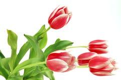 biały tło tulipany Obraz Royalty Free