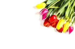 biały tło tulipany Fotografia Royalty Free